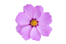 Pink Cosmos Flower Isolated On White Background. Blooming Plant With Clipping Path.