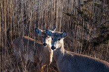Two Deer Surrounded By Reeds