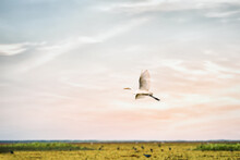 Great Egret Or Heron Bird Flying Over Fresh Water Wetland At Thale Noi