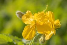 Yellow Celandine Flower Close Up