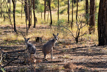 Australian Kangaroos In The Bush