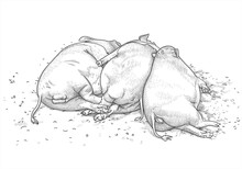 Two Funny Vietnamese Pigs And A Wild Boar Sleep Side By Side On The Ground. Vector Illustration In Hand Drawing Style. The Concept Of Free Love, Polygamy, Swinging And Drinking During A Bachelor Party