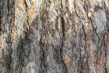 Bark Of Pine Tree. Natural Coniferous Bark Background