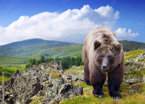 Stampa su Tela Brown bear in wildness area against mountains