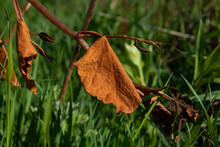 Brown Leaf In The Grass