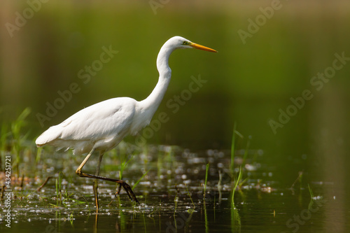 Fotografia Adult great egret, ardea alba, hunting in the lake with one leg up on sunny day
