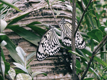 Macro Shot Of Two Lepidoptera Butterflies On Tree Branch In A Garden