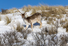 Young Fallow Deer In The Snow In Amsterdamse Waterleidingduinen Holland
