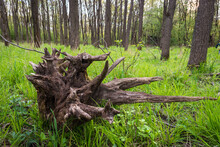 Old Uprooted Black Walnut Tree Stump With Roots In The Forest
