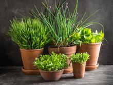 Spring Herbs In Terracotta Pots