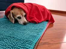 Luna Beagle
