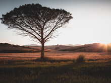 Lonely Tree Pine In Tuscan Hill