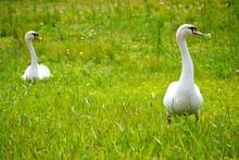 野原を歩く白鳥