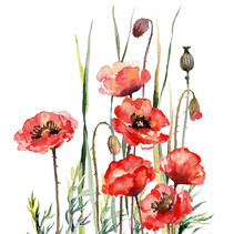 Watercolour Spring Poppies. Wildflowers On A White Background. Botanical Illustration.