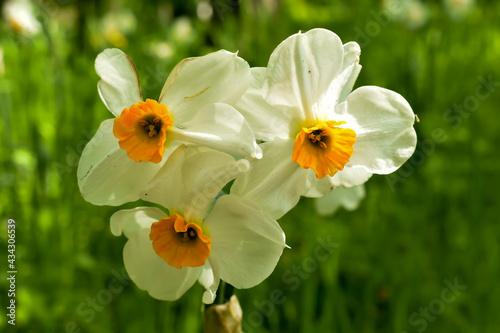 Piękne, biało-żółte kwiaty narcyzy.