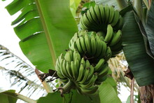Bunch Fresh Raw Green Comb Of Banana Is Hung On A Tree With Banana Leaves. Nature And Food Concept.