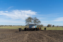 Cows Eating Grass In Field.  Rural Scene View