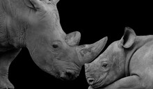 Mother Rhino And Baby Lion Closeup Face In The Black Background