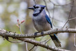 Close up of a Blue jay (Cyanocitta cristata) perched in a tree during spring. Selective focus, background blur and foreground blur.