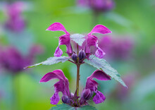 Blooming Lamium Maculatum, Roseum, Spotted Henbit, Spotted Dead-nettle, Purple Dragon. Floral Natural Background. Close-up. Forest Flowers. Flowering Meadow. Spring Flowers