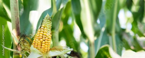 Canvastavla Yellow corn ear growing on cornfield at summer day.
