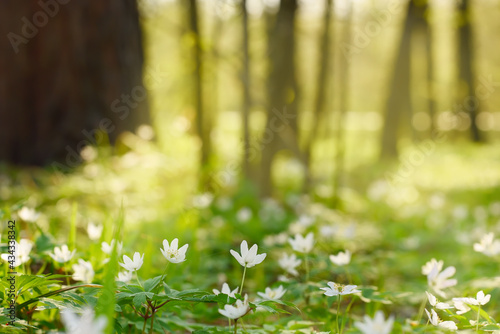 Photo Green spring forest with glades of white primroses anemones.
