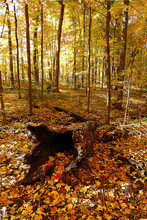 Hollow Log Surrounded By Colorful Fall Leaves