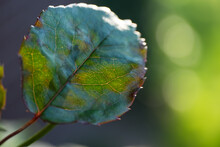Close Up Of A Rose Leaf With Leaf Veins And Rusty Brown Spots Diplocarpon Rosae Caused By Fungus In Late Season