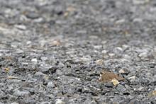 Nesting Little Ringed Plover (Charadrius Dubius) // Flussregenpfeifer Auf Dem Nest In Einem Steinbruch
