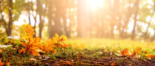 Autumn Background With Sunlight. Fallen Oak Leaves In The Forest On A Background Of Trees On A Sunny Day