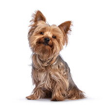 Scruffy Adult Blue Gold Yorkshire Terrier Dog, Sitting Up Facing Front Looking Towards Camera And Smiling. Isolated On A White Background.
