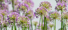 Spiky Pink And Purple Flowers Called Allium, Put On A Brilliant Summertime Show In The Garden