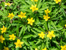 Anemonoides Ranunculoides, Anemone Ranunculoides), The Yellow Anemone, Yellow Wood Anemone, Or Buttercup Anemone Yellow Flowers On The Field.
