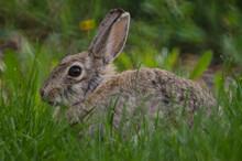 A Rabbit Hiding In The Tall Grass.