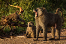 Baboons Monkey Family On The Field During Safari In National Park Of Serengeti In Tanzania. Wild Nature Of Africa