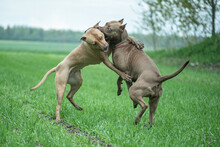 Two Angry Fearsome Pit Bull Terriers Are Fighting On A Field Of Grass.
