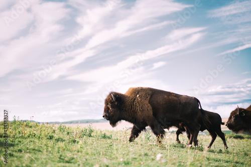 Foto Plains bison Alberta Canada