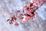 Fototapeta Kwiaty - Kwiaty Kwitnącej wiśni Kanzan - gałązka. Pink flowers. Piękne rozowe kwiaty wiosennej wiśni w sloneczny dzień na jasnym niebieskim tle z efektem bokeh