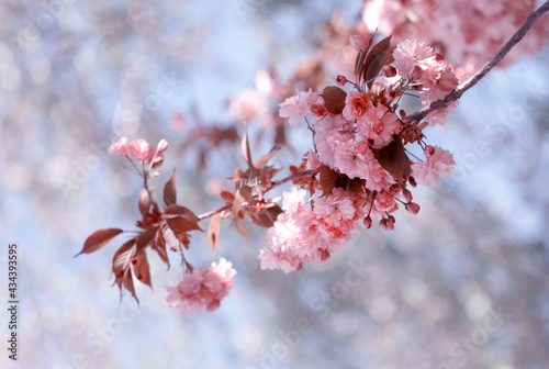 Kwiaty Kwitnącej wiśni Kanzan - gałązka. Pink flowers. Piękne rozowe kwiaty wiosennej wiśni w sloneczny dzień na jasnym niebieskim tle z efektem bokeh