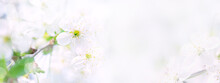Amazing White Cherry Blossoms. Copy Space. Banner.