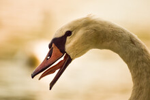 Close Up Of A Mute Swan