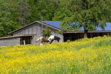Horse Grazing On Meadow With Yellow Flowers At A Spring Day. Photo Taken May 18th, 2021, Zurich, Switzerland.