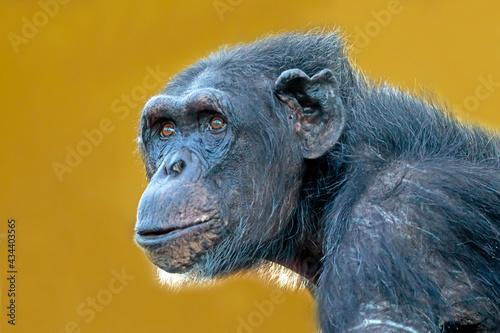 Photo chimpanzee (Pan troglodytes) female close up portrait