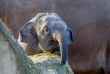 Asian Elephant (Elephas Maximus) On Nature Background