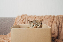 """Domestic Ginger Cat In A Cardboard Box Is Playing The Game """"hunter""""."""