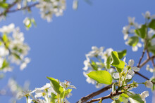 Branch Of Pear Tree With Pear Blossoms Framing A Blue Sky Background