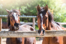 Details Of The Head Of Two Brown Horses Looking At The Camera. Horses Behind A Fence