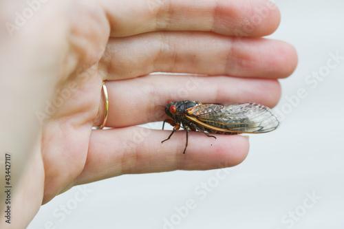 Fényképezés Periodical Brood X cicadas emerge after 17 years underground