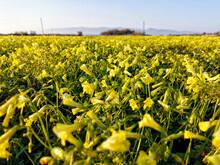 Vinagretas -oxalis Flowers-. Cabo De Gata Níjar. Almería. Spain