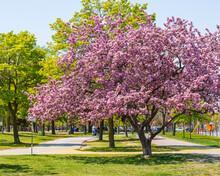 Crab Apple Tree In Full Bloom In Woodbine Park A Vibrant Part Of  Toronto's Beaches Neigbourhood.